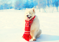 Winter white Samoyed dog in red knitted scarf on snow