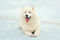 Portrait happy winter white Samoyed dog lying on snow