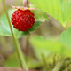 Detail of the ripe wild strawberry - PhotoDune Item for Sale