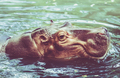 Hippo in water.  Yawning common hippopotamus