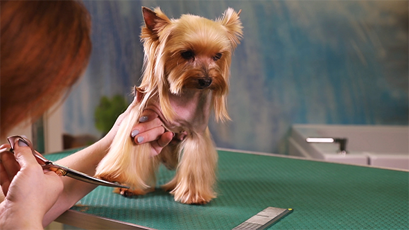Yorkshire Terrier Grooming At Pet Salon By Alkir Vh Videohive