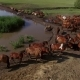 Aerial View Herd of Hourses Near Pond - VideoHive Item for Sale