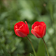 Red Tulips - VideoHive Item for Sale
