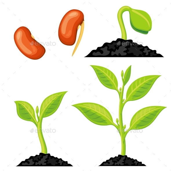 Plant Growth Stages From Seed to Sprout - Organic Objects Objects