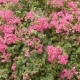 Bush Bougainvillea Flowers in Vietnam Outdoors. - VideoHive Item for Sale