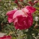 Red and White Rose in the Retiro, Madrid, Spain - VideoHive Item for Sale