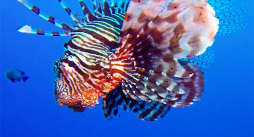 Underwater Coral Reef Lionfish