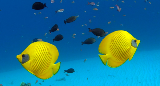 Background Underwater Butterflyfish