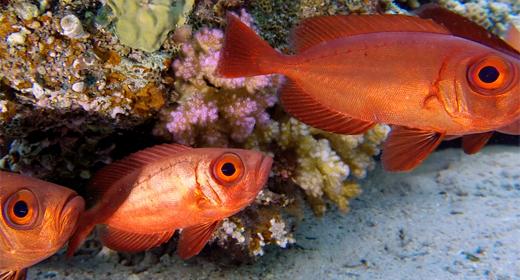Underwater Fish Bigeye