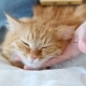 The Woman Combs A Dozing Cat's Fur. Ginger Cat Lies On White Blanket - VideoHive Item for Sale