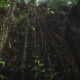 The Review of Suspended Lianas in the Jungle of the Island of Bali. Lianas Hanging From the Tree - VideoHive Item for Sale