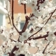 Apple Tree Branches in Early Spring Covered with Beautiful Flowers - VideoHive Item for Sale