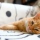 Cute Ginger Kitty Comfortably Snuggles on Blanket in Bed - VideoHive Item for Sale
