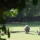 Rhinos on the Green Field - VideoHive Item for Sale