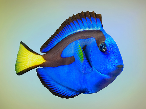 Fish Paracanthurus hepatus low-poly - 3DOcean Item for Sale