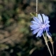 Common Chicory Flower in Summer - VideoHive Item for Sale