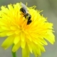 Bee Collects Pollen on Yellow Dandelion - VideoHive Item for Sale