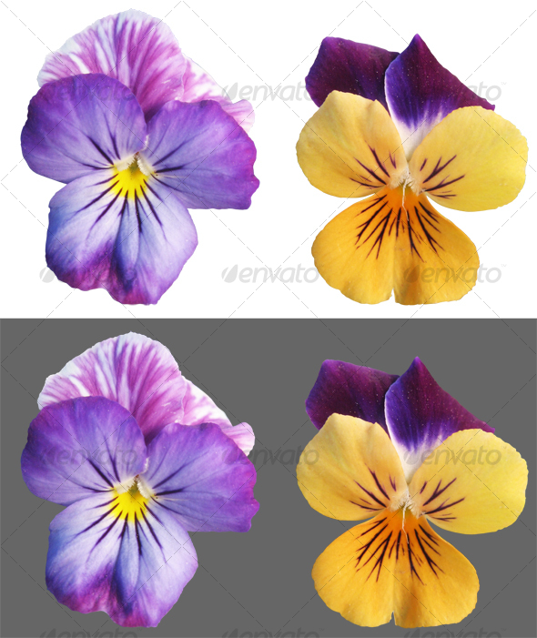 Two Pansy flowers - Nature & Animals Isolated Objects