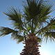 Pineapple Palm Tree Against Clear Blue Sky - VideoHive Item for Sale