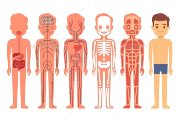 Human Body Anatomy Vector Illustration Male - People Characters