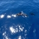 Pilot Whales Family in Blue Water Aerial Shot. Sunny Day with Whales in the Ocean. - VideoHive Item for Sale