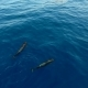 Pilot Whales Family in Blue Water Aerial Shot. - VideoHive Item for Sale