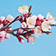 Apricot Flower Growing on a Blue Background - VideoHive Item for Sale