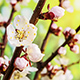 Apricot Flower blossoming, Nature Background - VideoHive Item for Sale