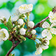 Cherry flower blossoming - VideoHive Item for Sale