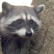 Common Raccoon - HD - Pack 3 - 43