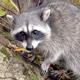 Common Raccoon - HD - Pack 3 - 44