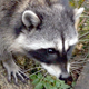 Common Raccoon - HD - Pack 3 - 45