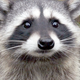 Common Raccoon - HD - Pack 3 - 46