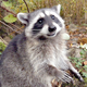 Common Raccoon - HD - Pack 3 - 47