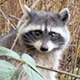 Common Raccoon - HD - Pack 3 - 48