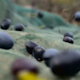 Traditional olive harvest slow motion dropping olives - VideoHive Item for Sale