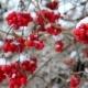 Many Viburnum Berries in Snow - VideoHive Item for Sale