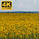 Sunflowers Field 1 - VideoHive Item for Sale