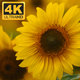 Yellow Sunflowers 2 - VideoHive Item for Sale