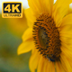 Yellow Sunflowers 3 - VideoHive Item for Sale