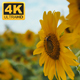 Yellow Sunflowers 4 - VideoHive Item for Sale