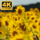 Sunflowers Field  - VideoHive Item for Sale