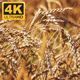 Wheat Field 2 - VideoHive Item for Sale