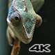 Chameleon Camouflage Reptile Moving Eyes on a Branch - VideoHive Item for Sale