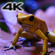 Golden Poison Terribilis Dart Frog - VideoHive Item for Sale
