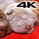 Newborn Shar Pei Pups Sleeping - VideoHive Item for Sale