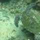 Hawksbill Sea Turtle Current on Coral Reef Island Bali - VideoHive Item for Sale