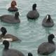 Eurasian Coot Fulica Atra Swimming in Black Sea - VideoHive Item for Sale