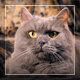 Scottish Domestic Cat - VideoHive Item for Sale