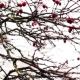 Malus Prunifolia in Winter - VideoHive Item for Sale